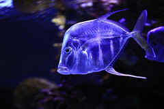 Transparent fish Royalty Free Stock Photography