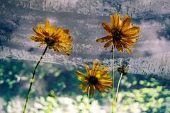 Transparent Flowers Royalty Free Stock Photography