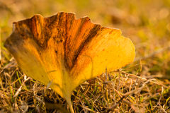 Transparent Ginkgo Leaf Royalty Free Stock Image