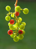 Transparent Grapes Royalty Free Stock Photography