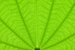 Transparent green color leaf texture Royalty Free Stock Photos