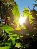 Transparent green leaves and intensive sunbeams Royalty Free Stock Photo