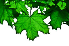 Transparent green maple leafs stock photography