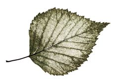Transparent half-decayed old leaf birch with filigree pattern on. A white isolated background Royalty Free Stock Photo