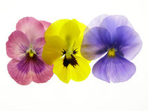 Transparent heartsease Royalty Free Stock Photography