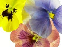 Transparent heartsease Stock Photo