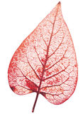 Transparent leaf Royalty Free Stock Photos