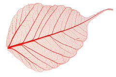 Transparent leaf. Transparent red leaf, isolated, high detail Royalty Free Stock Photo