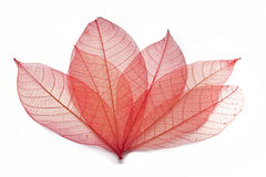 Transparent leaf. On white background Stock Photos