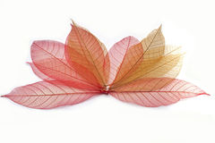 Transparent leaf. On white background Stock Images