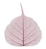 Transparent leaf stock photography