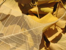 Transparent Leaf. On a bed of yellow leaves Royalty Free Stock Photo