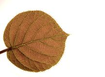 Transparent Leaf Of A Kiwi Royalty Free Stock Photos