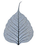 Transparent leaf vein close-up Royalty Free Stock Photos