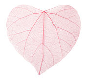 Transparent leaves Stock Photos
