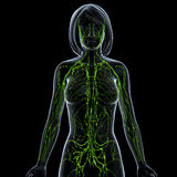 Transparent lymphatic system of female. 3d art illustration of Transparent lymphatic system of female Stock Image