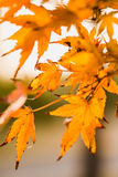 Transparent Maple Leaves in Backlight Royalty Free Stock Photos