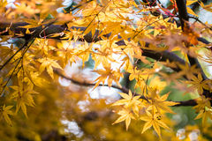Transparent Maple Leaves in Backlight Stock Photo