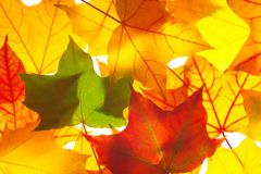 Transparent  maple leaves Royalty Free Stock Images