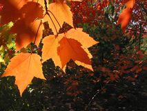 Transparent orange fall leaves Stock Images