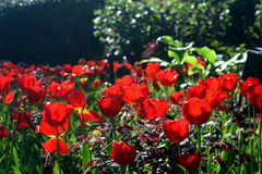 Transparent Reds. Small field of Red Tulips Royalty Free Stock Photography