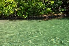 Transparent river in Mexican mangrove on a sunny morning. royalty free stock images