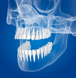 Transparent scull and teeth , xray view Royalty Free Stock Photography