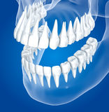 Transparent scull and teeth , xray view Stock Photos