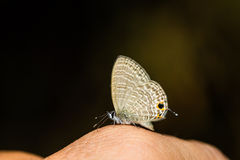 Transparent Six-line Blue butterfly Stock Photography