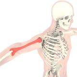 Transparent skeleton Royalty Free Stock Images