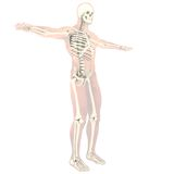 Transparent skeleton Stock Photo