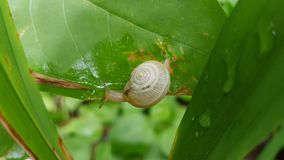 Transparent snail on a green leafl Royalty Free Stock Photos