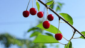 Almost Transparent Sour Cherry   In Tree In Morning Sun. Sour Cherries In Tree In Morning Sun stock footage