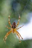 Beautiful big diadem spider on web. Araneus diadematus, Araneidae. Transparent colored predator on its cobweb with a blurred green background royalty free stock photo
