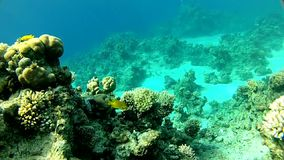 Transparent and warm water. Red sea. The corals and fish.  Underwater life tropical fish stock video
