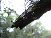 Transparent white fungi on tree branch in Swaziland Stock Images
