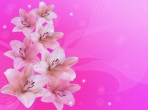 White lilies on a pink background. stock photography