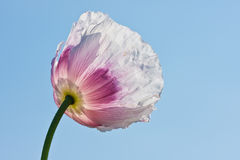 Transparent white poppy. Facing the sky in Czech stock photos