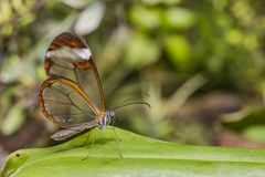 Transparent wing butterfly - Greta oto royalty free stock images