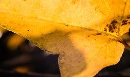 Transparente Blätter in der Hintergrundbeleuchtung Stockfotografie