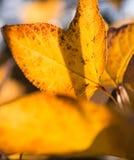 Transparente Blätter in der Hintergrundbeleuchtung Lizenzfreies Stockfoto