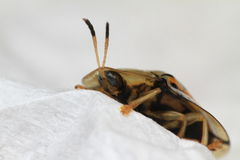 Transparente Dame Bug Stockfotografie