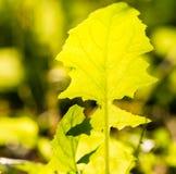 Transparente Grün-Blätter in der Hintergrundbeleuchtung Lizenzfreie Stockfotos