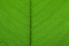 Transparente grüne Blattbeschaffenheit Stockbild
