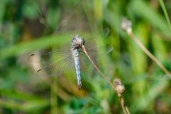 Transparente Libelle auf einem Stamm Stockbild