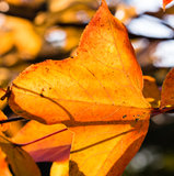 Transparente Rot-Blätter in der Hintergrundbeleuchtung Stockfoto