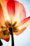 Transparente Tulpe Lizenzfreies Stockfoto