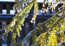 Transparentes Eis auf grünem Fichtenzweig bedeckte warme Sonne Lizenzfreies Stockfoto