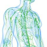 Transparentes Lymphsystem des Mannes Lizenzfreies Stockfoto