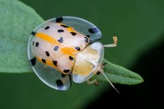 A transperant yellow lady bird. Macro photography showing a close up view of beauty flora and fauna Stock Photo
